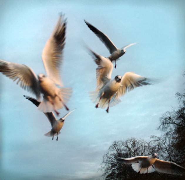 Seagulls caught in motion