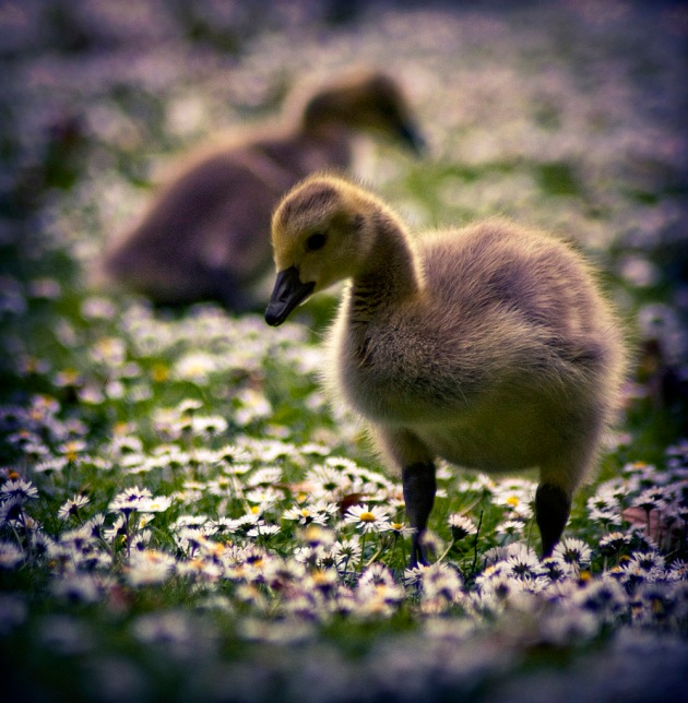 Pair of Canada Goose goslings in a field of daisies
