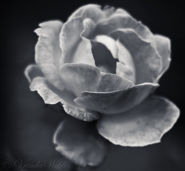Black and White soft photo of a rose