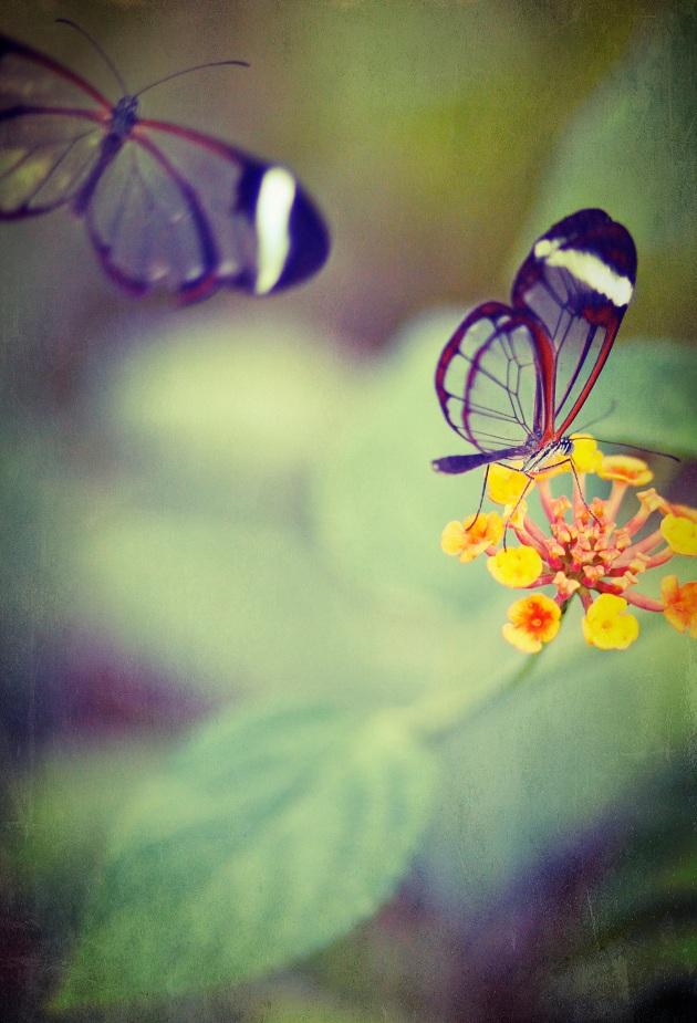 A pair of Glasswing butterflies in Butterfly World, near St Albans
