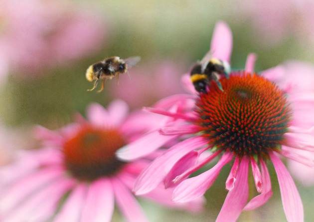 Bumble bees buzzing around pink echinacea flowers