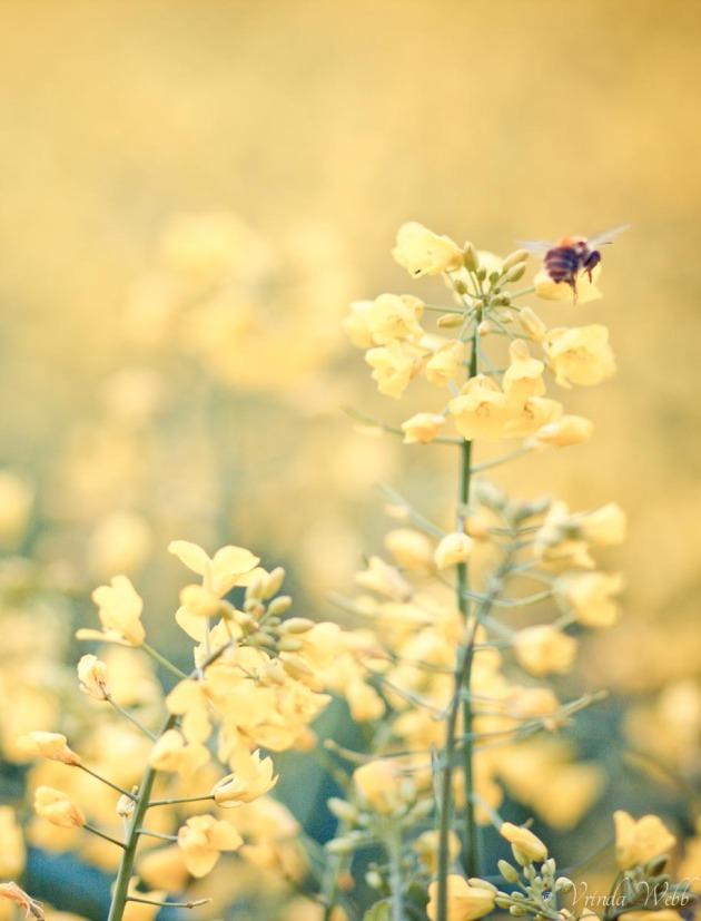 bumble bee on yellow rape flowers