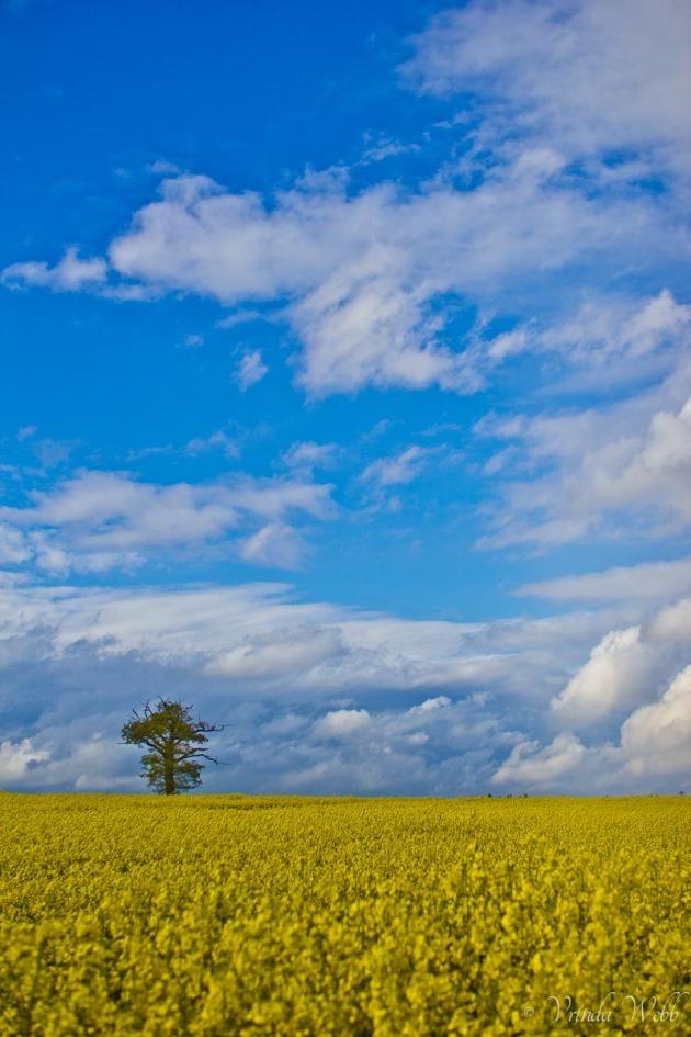yellow rape field in watford, hertfordshire.