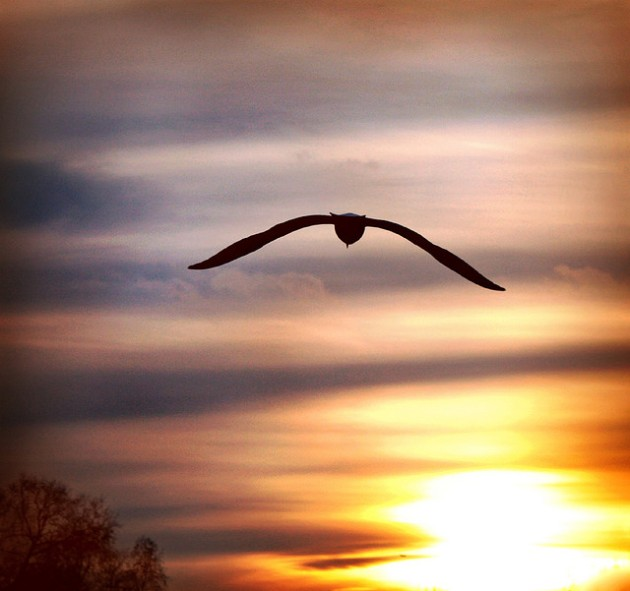 seagull soaring into sunset over St James' Park, London