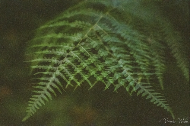 double exposure of ferns, taken expired Kodak film and a Minolta SRT 202