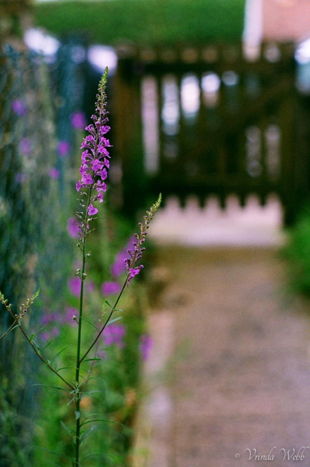 Purple flowers on garden path, expired Fujifilm, taken with Pentax K1000