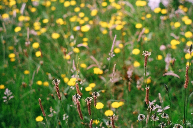 wild flowers taken on expired Fujifilm, with Pentax K1000