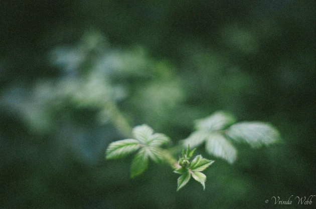 Bramble shoot, taken with expired Kodak film, with a Pentax K1000